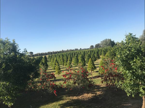 Rutherglen Christmas Trees Farm Stay - Whitsundays Accommodation